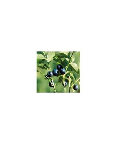 Owoc borówki czernicy