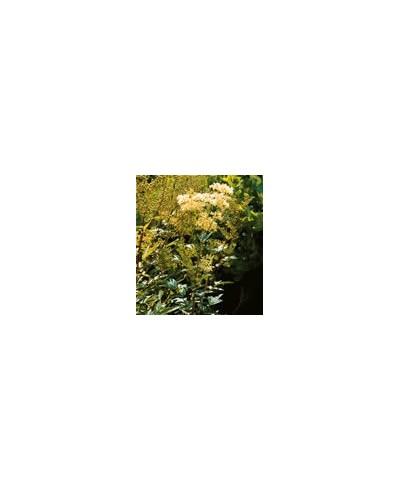 Kwiat wiązówki